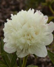 Pfingstrose Alba Plena, Paeonia officinalis Alba Plena