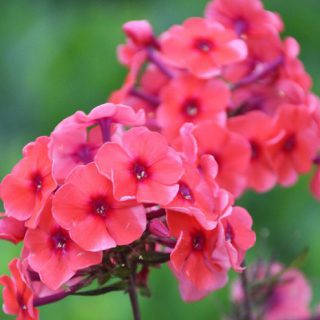 Hohe Flammenblume Orange Perfection / Phlox paniculata Orange Perfection