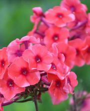 Hohe Flammenblume Orange Perfection, Phlox paniculata Orange Perfection