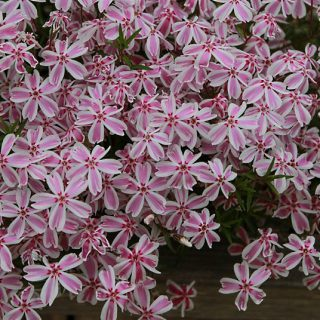 Teppich-Flammenblume Candy Stripes / Phlox subulata Candy Stripes