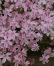 Teppich-Flammenblume Candy Stripes, Phlox subulata Candy Stripes