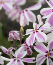 Garten-Teppich-Flammenblume Candy Stripes, Phlox subulata Candy Stripes
