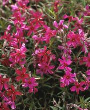 Teppich-Flammenblume Purple Beauty, Phlox subulata Purple Beauty