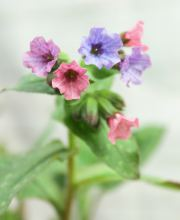 Großgeflecktes Lungenkraut Mrs Moon, Pulmonaria saccharata Mrs Moon