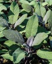 Salbei Purpurascens, Salvia officinalis Purpurascens