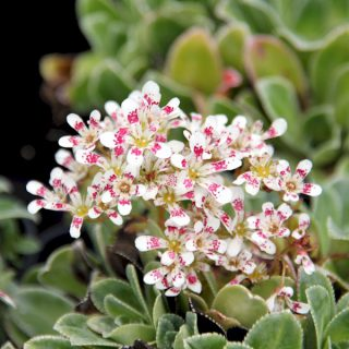 Strauch Steinbrech Southside Seedling / Saxifraga cotyiedon Southside Seedling