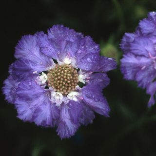 Große Skabiose Clive Greaves / Scabiosa caucasica Clive Greaves