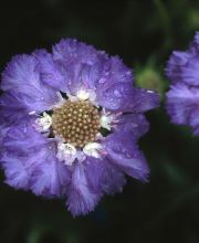 Große Skabiose Clive Greaves, Scabiosa caucasica Clive Greaves