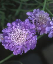 Tauben Skabiose Butterfly Blue, Scabiosa columbaria Butterfly Blue