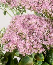 Fettblatt Brillant, Sedum spectabile Brillant