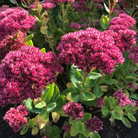 Fettblatt Septemberglut / Sedum spectabile Septemberglut