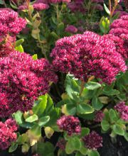 Fettblatt Septemberglut, Sedum spectabile Septemberglut