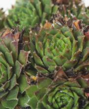 Hauswurz Bronco, Sempervivum cultorum Bronco