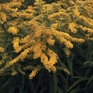 Goldrute Goldenmosa / Solidago cultorum Goldenmosa