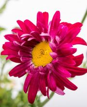 Margerite Robinsons Rot, Tanacetum coccineum Robinsons Rot