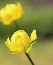 Trollblume Lemon Queen, Trollius cultorum Lemon Queen
