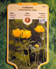 Trollblume Orange Globe, Trollius cultorum Orange Globe