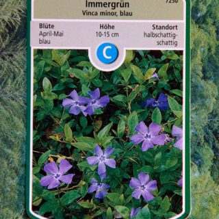 Immergrün blau / Vinca minor blau