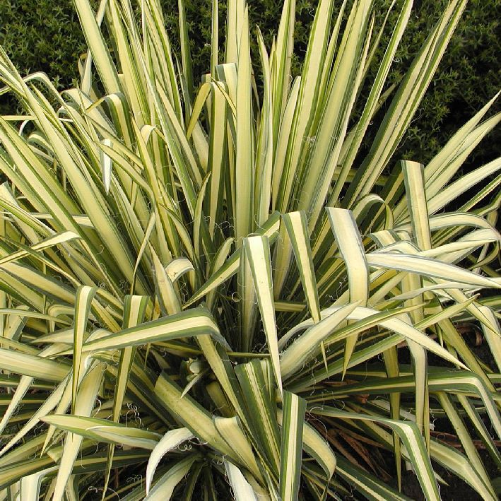 schlaffe garten palmlilie yucca flaccida 39 golden sword. Black Bedroom Furniture Sets. Home Design Ideas
