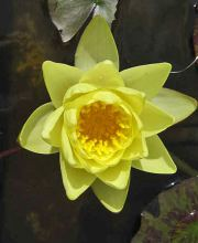 Seerose Marliacea Chromatella, Nymphaea cultorum Marliacea Chromatella