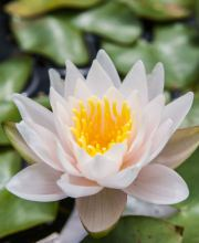 Seerose Walter Pagels, Nymphaea cultorum Walter Pagels