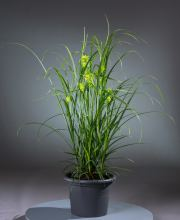 Morgenstern Segge , Carex Grayi