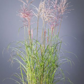 Chinaschilf Flamingo / Miscanthus sinensis Flamingo