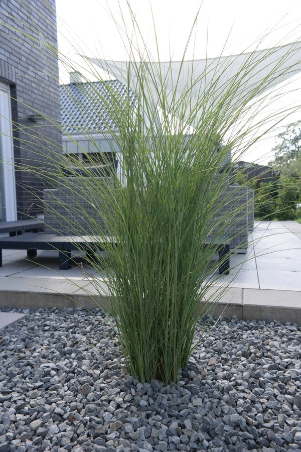 garten chinaschilf gracilimus miscanthus sinensis. Black Bedroom Furniture Sets. Home Design Ideas