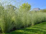 Chinaschilf Morning Light, Miscanthus sinensis Morning Light