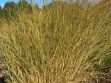 Ruten Hirse Cloud Nine, Panicum virgatum Cloud Nine