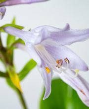 Duftende Lilien Funkie Invincible, Hosta plantaginea Invincible