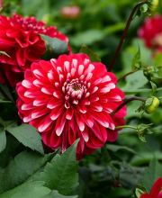 Garten-Dahlie Little Tiger, Dahlia x horticulture Little Tiger