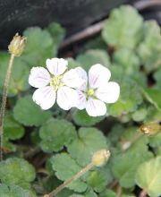 Reiherschnabel Album, Erodium reichardii Album