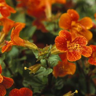 Gauklerblume Orange Glow / Mimulus cupreus Orange Glow