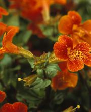 Gauklerblume Orange Glow, Mimulus cupreus Orange Glow