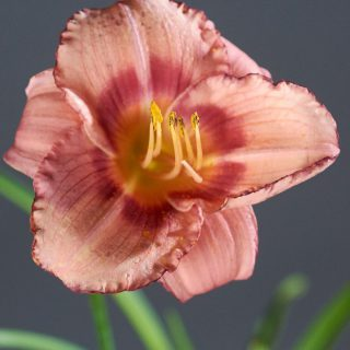 Taglilie Strawberry Candy / Hemerocallis cultorum Strawberry Candy