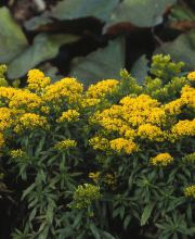 Goldrute Golden Dwarf, Solidago cultorum Golden Dwarf