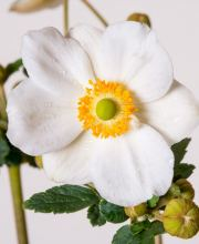 Herbst Anemone Andrea Atkins, Anemone Japonica Andrea Atkinson