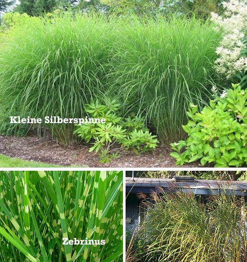 garten chinaschilf garten landschilf miscanthus sinensis i s g nstig online kaufen. Black Bedroom Furniture Sets. Home Design Ideas
