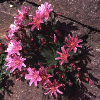 Bitterwurz Little Plum / Lewisia longipetala Little Plum