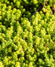 Scharfer Mauerpfeffer Yellow Queen, Sedum acre Yellow Queen