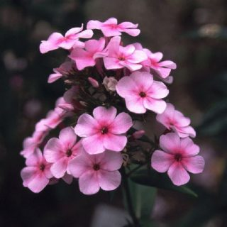 Arends Flammenblume Ping Pong / Phlox arendsii Ping Pong