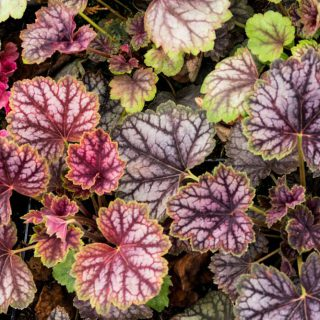 Garten-Silberglöckchen Beauty Color / Heuchera micrantha Beauty Color