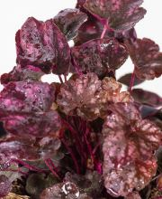 Purpurglöckchen Velvet Night, Heuchera americana Velvet Night