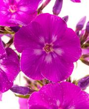 Gedrungene Flammenblume Purple Flame, Phlox paniculata Purple Flame