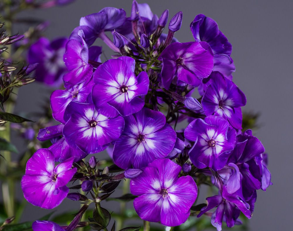 gedrungene flammenblume purple flame phlox paniculata purple flame g nstig online kaufen. Black Bedroom Furniture Sets. Home Design Ideas