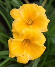 Taglilie Mini Stella, Hemerocallis cultorum Mini Stella