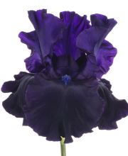 Hohe Schwertlilie Superstition, Iris barbata elatior Superstition