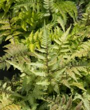 Regenbogenfarn Red Beauty, Athyrium niponicum Red Beauty