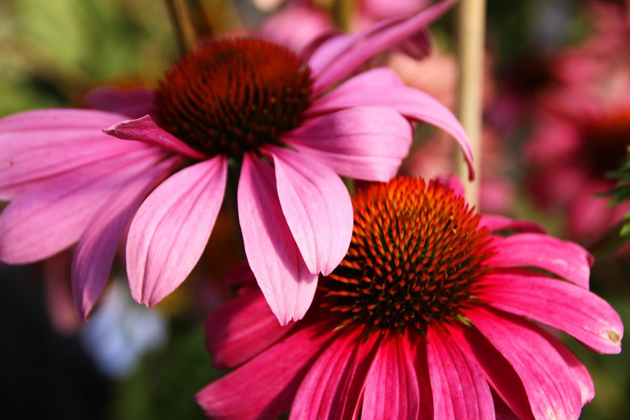 garten scheinsonnenhut echinacea purpurea primadonna. Black Bedroom Furniture Sets. Home Design Ideas